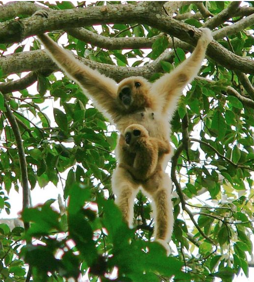 A White-handed gibbon (Hylobates lar) female with baby. Photo by Bernard Dupont. CC BY-SA 2.0,