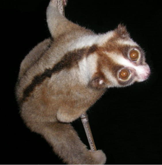 A Javan slow loris (Nycticebus javanicus). Photo by Dr. K.A.I. Nekaris licensed under CC BY-SA 4.0-3.0-2.5-2.0-1.0