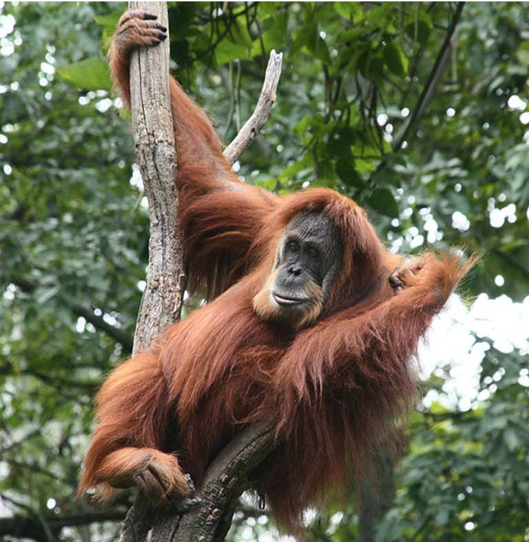 Even charismatic megafauna like Asia's orangutans are fighting to survive, despite the attention heaped upon them. Things are just as perilous, or worse, for Asia's Almost Famous animals. Photo by Greg Hume CC BY-SA 3.0