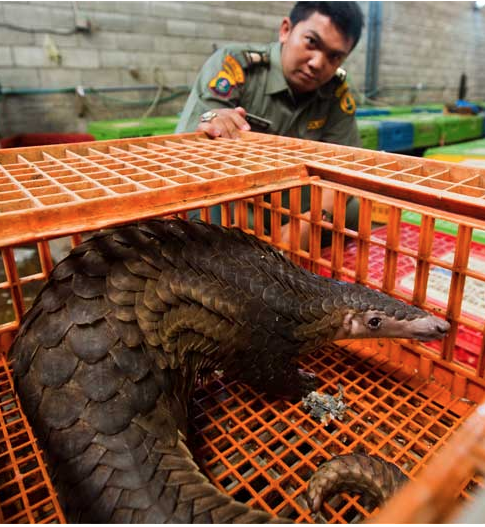 The world's most trafficked mammal: A live pangolin stares out from the poultry cage it had been locked in by illegal wildlife traffickers, while an Indonesian law enforcement agent looks on. Photo by Paul Hilton/Wildlife Conservation Society