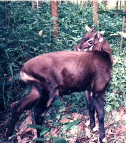 Rare photo of a Saola (Pseudoryx nghetinhensis). Photo by Silviculture at Vietnamese Wikipedia licensed under CC BY-SA 3.0