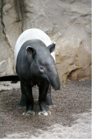 The Asian or Malayan Tapir (Tapirus indicus). Photo by jim Winstead CC BY 2.0.