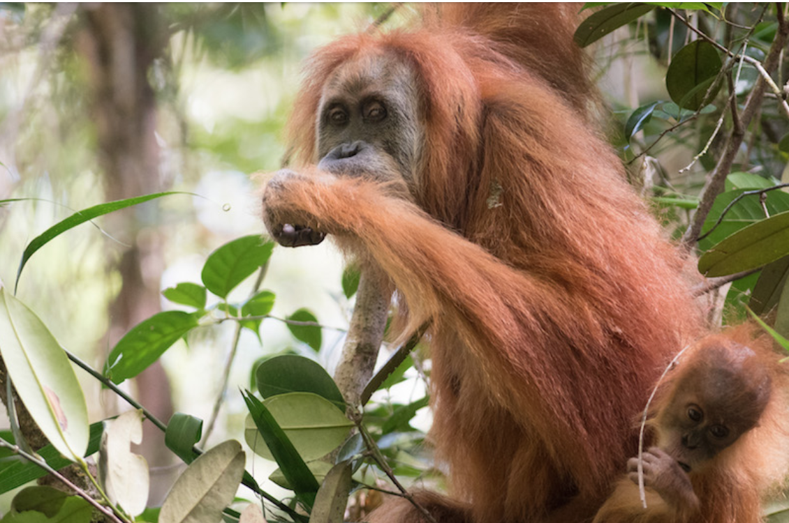 An adult and juvenile Tapanuli orangutan, photographed in the Batang Toru ecosystem. Image by Andrew Walmsley.
