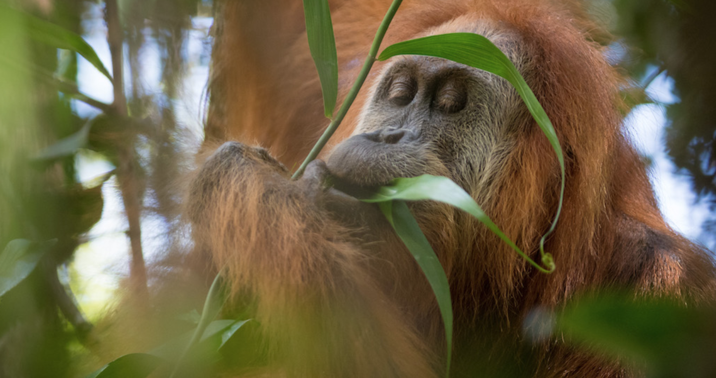 By 2016, it was becoming clear to researchers that the Batang Toru orangutans were distinct from other orangutan populations in Sumatra. Image by Andrew Walmsley.