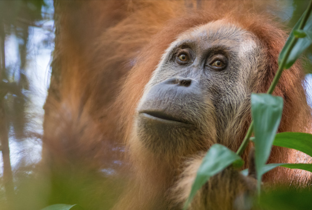 One of the roughly 800 Tapanuli orangutans known to exist. Image by Andrew Walmsley.