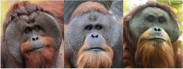 Bornean (left), Sumatran (middle) and Tapanuli (right) male orangutans. Image by Eric Kilby, Aiwok and Tim Laman via Wikimedia Commons (GFDL).