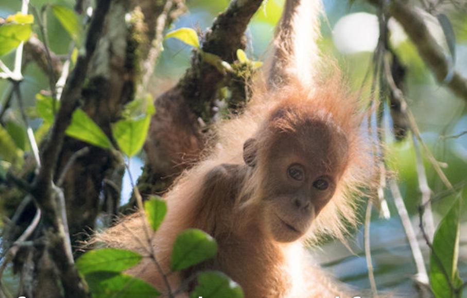 A juvenile Tapanuli orangutan, by Andrew Walmsley.