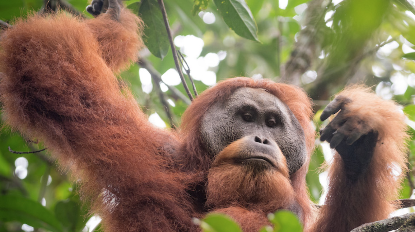 Researchers studying orangutan morphology found that Tapanuli orangutans are distinguished by their relatively small skulls and large canines. Image by Andrew Walmsley.