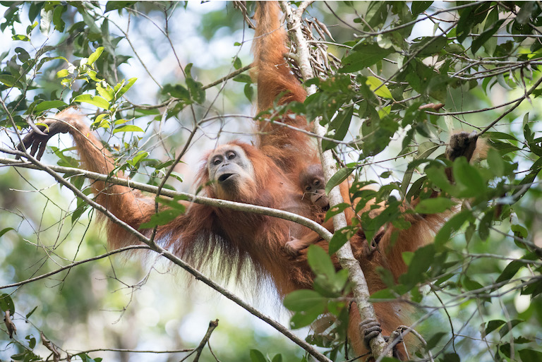An orangutan photographed in the Batang Toru ecosystem. Scientists discovered that despite living on Sumatra island, these apes were in many ways genetically closer to orangutans across the sea in Borneo. Image by Andrew Walmsley.