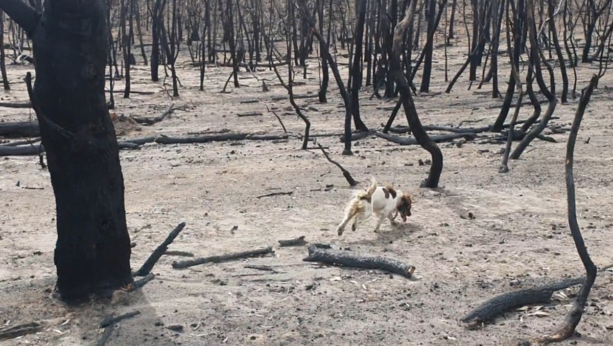Taylor searches for koalas after the Australian bushfires. Photo courtesy of Ryan Tate.