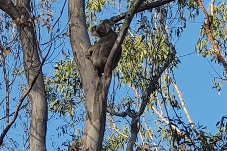 A koala high in a tree. Most are virtually invisible from the ground. Photo courtesy of Ryan Tate.