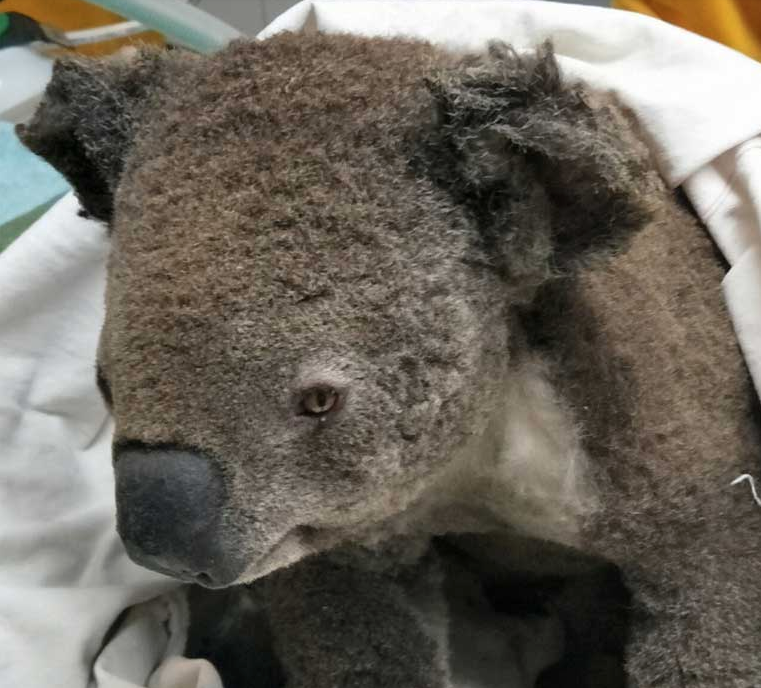 Koalas must travel a long human-aided road from rescue to recovery, back to their forest homes. Photo courtesy of Peter Berecry.