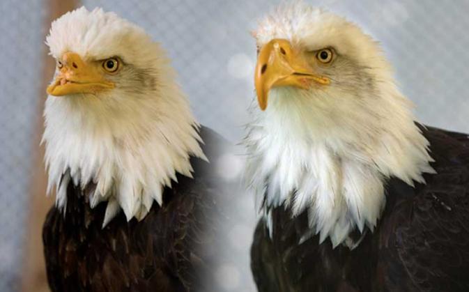 Beauty the eagle before and after the prosthetic beak. Image courtesy of Janie Veltkamp.