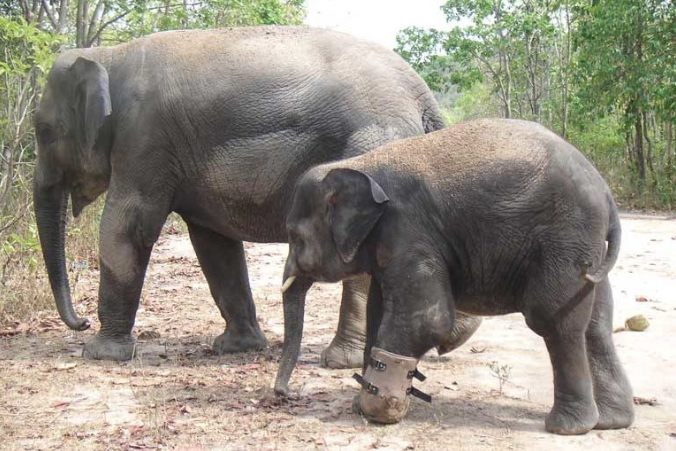Chhouk walks with the artificial foot. Photo courtesy of Wildlife Alliance.